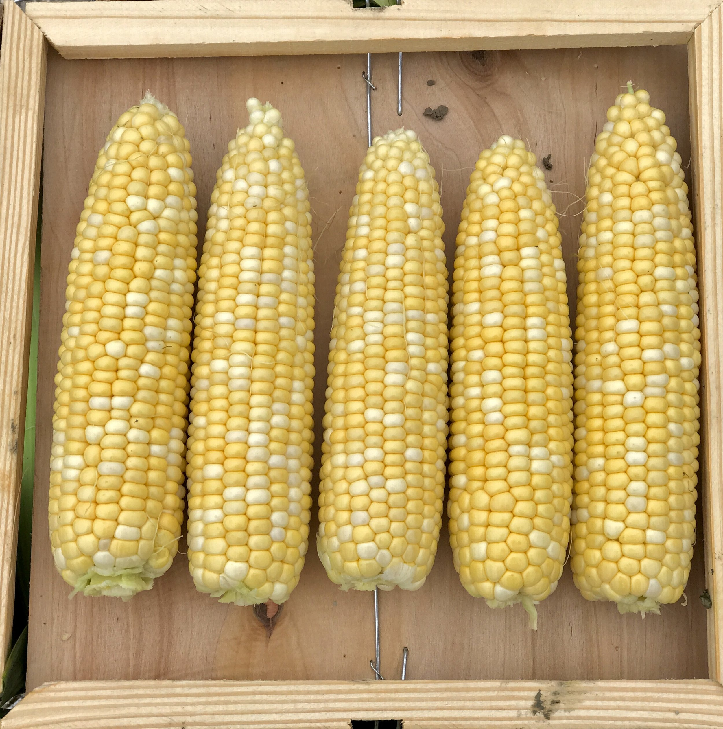 Some of our Bicolor Sweet Corn from  Alger Farms  on a crate