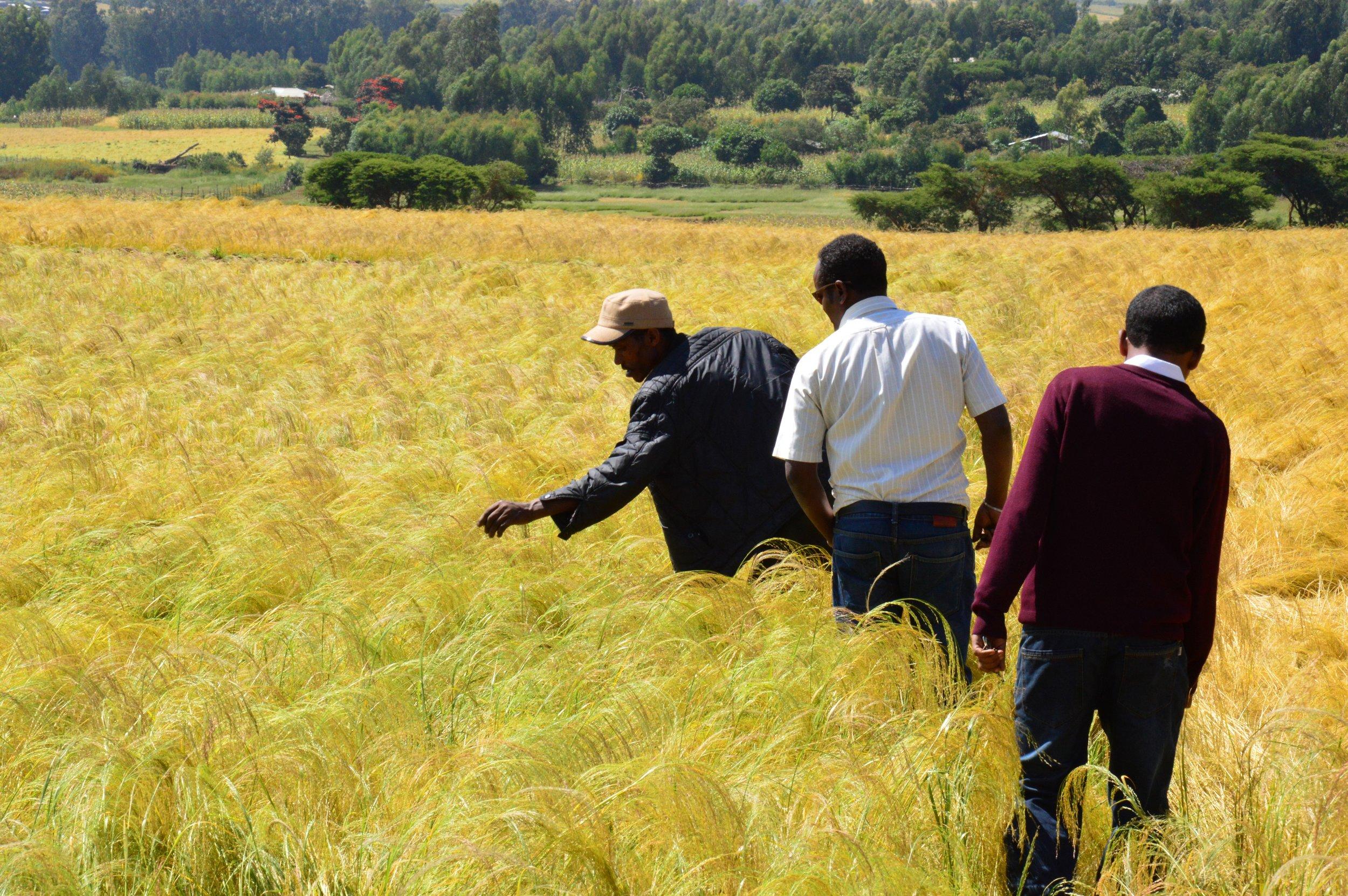 Farmer checking his teff crop.JPG