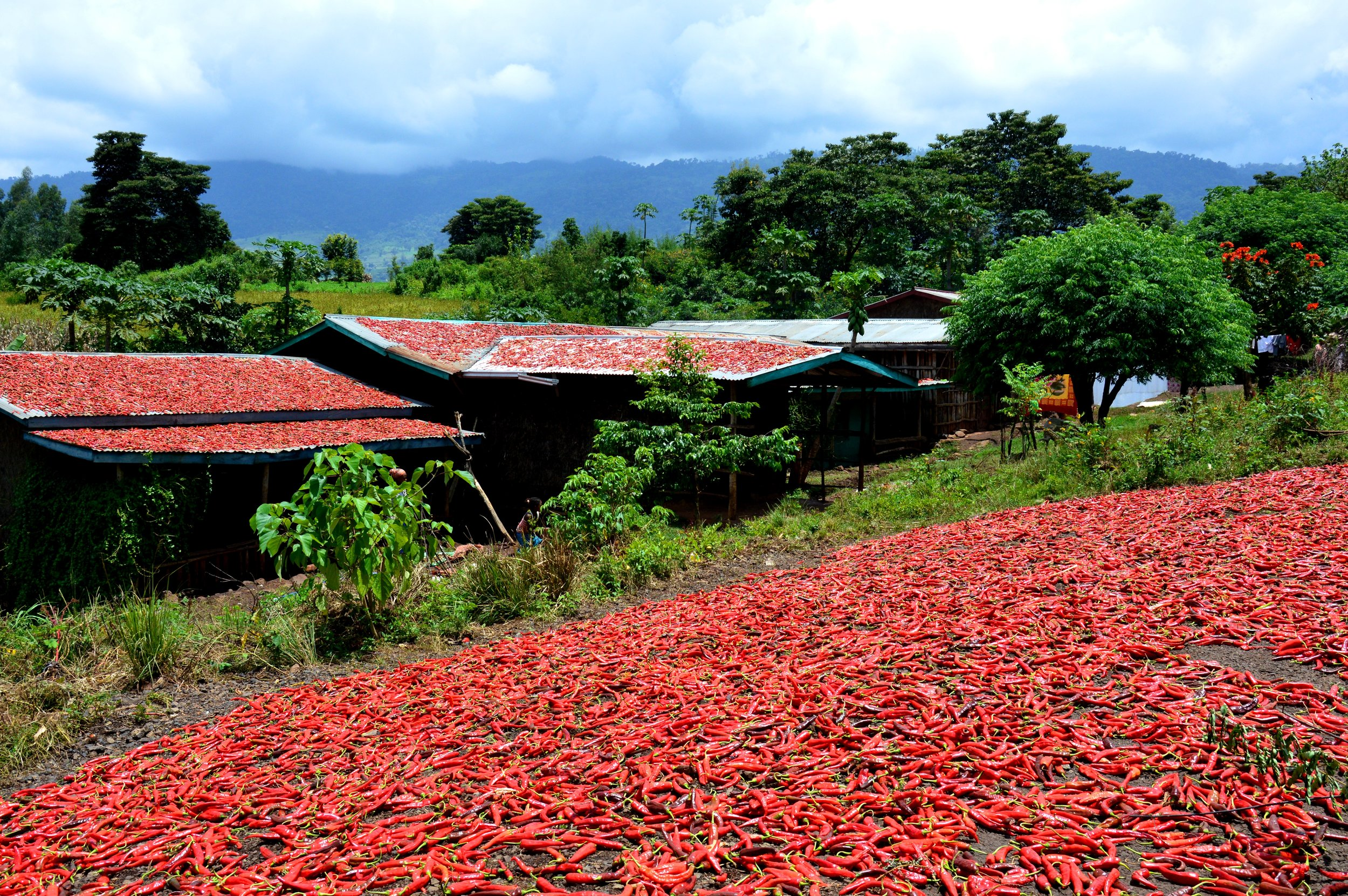 Drying of chillies in South-West Ethiopia.jpg