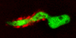 Metarhizium robertsii  germling producing auxin stained with a red immunofluorescent stain.