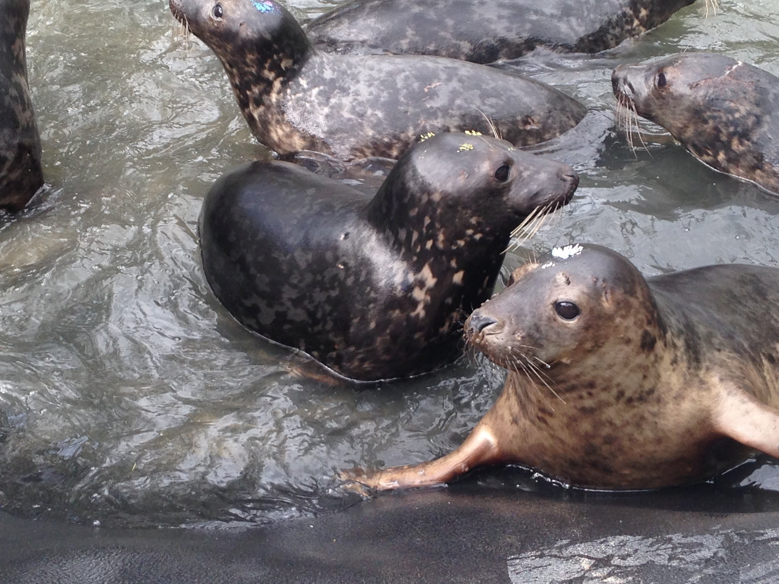 Phonetic Planet Visits: Seal Rescue Ireland - Learn about this growing non profit on the coast of Ireland, where young seals get a second chance.