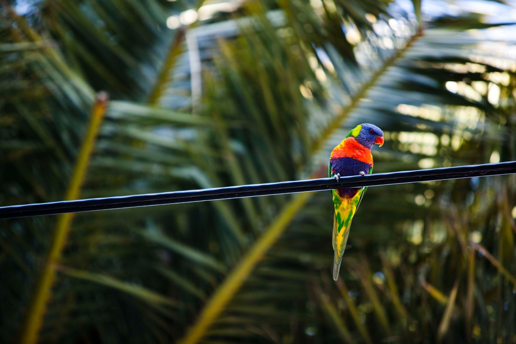 There are so many parrots here in Australia! It is amazing to see them flying around our work areas!
