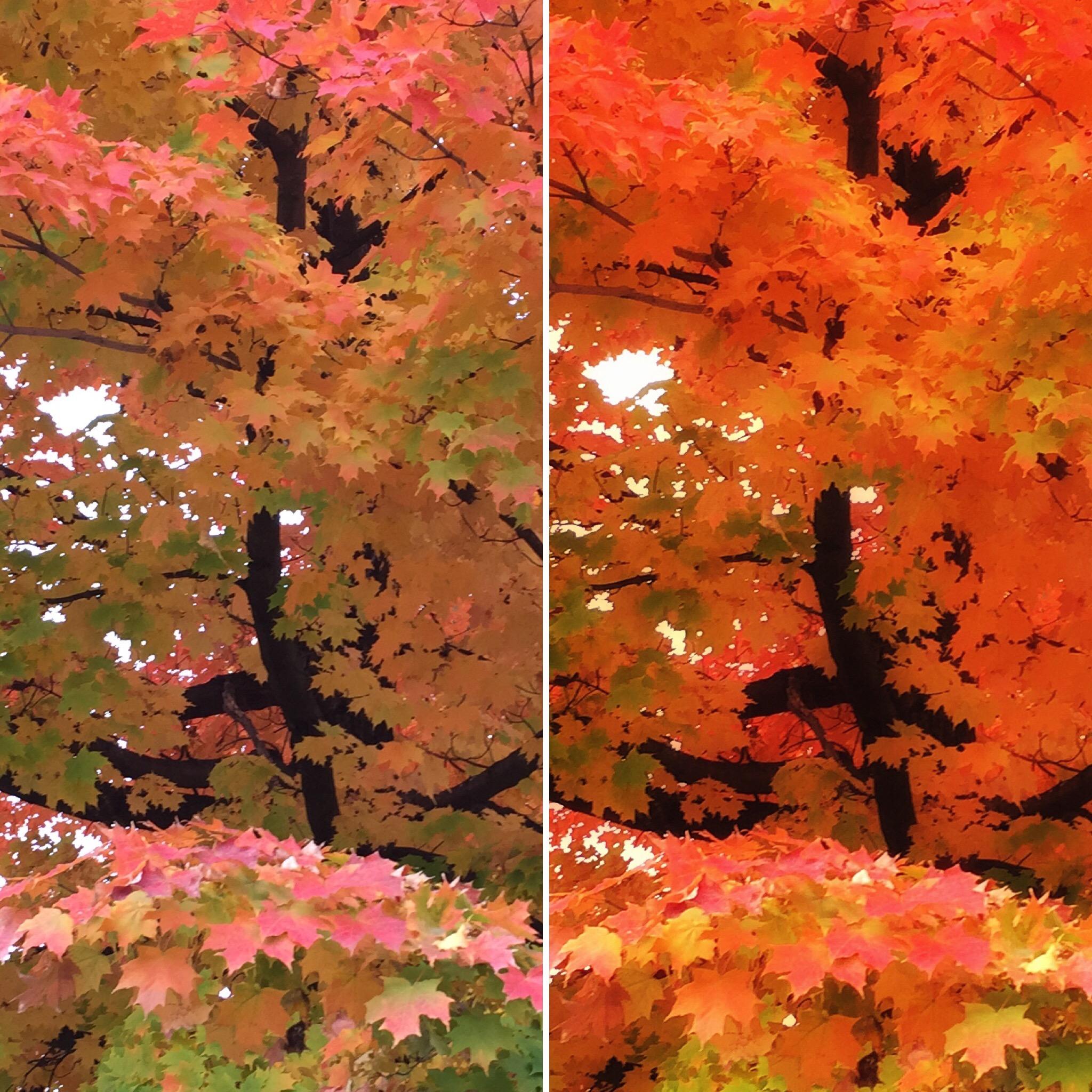 autumn maple.jpg