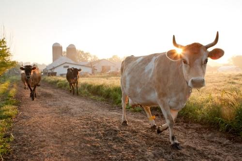 happy cows on seven stars farm :)
