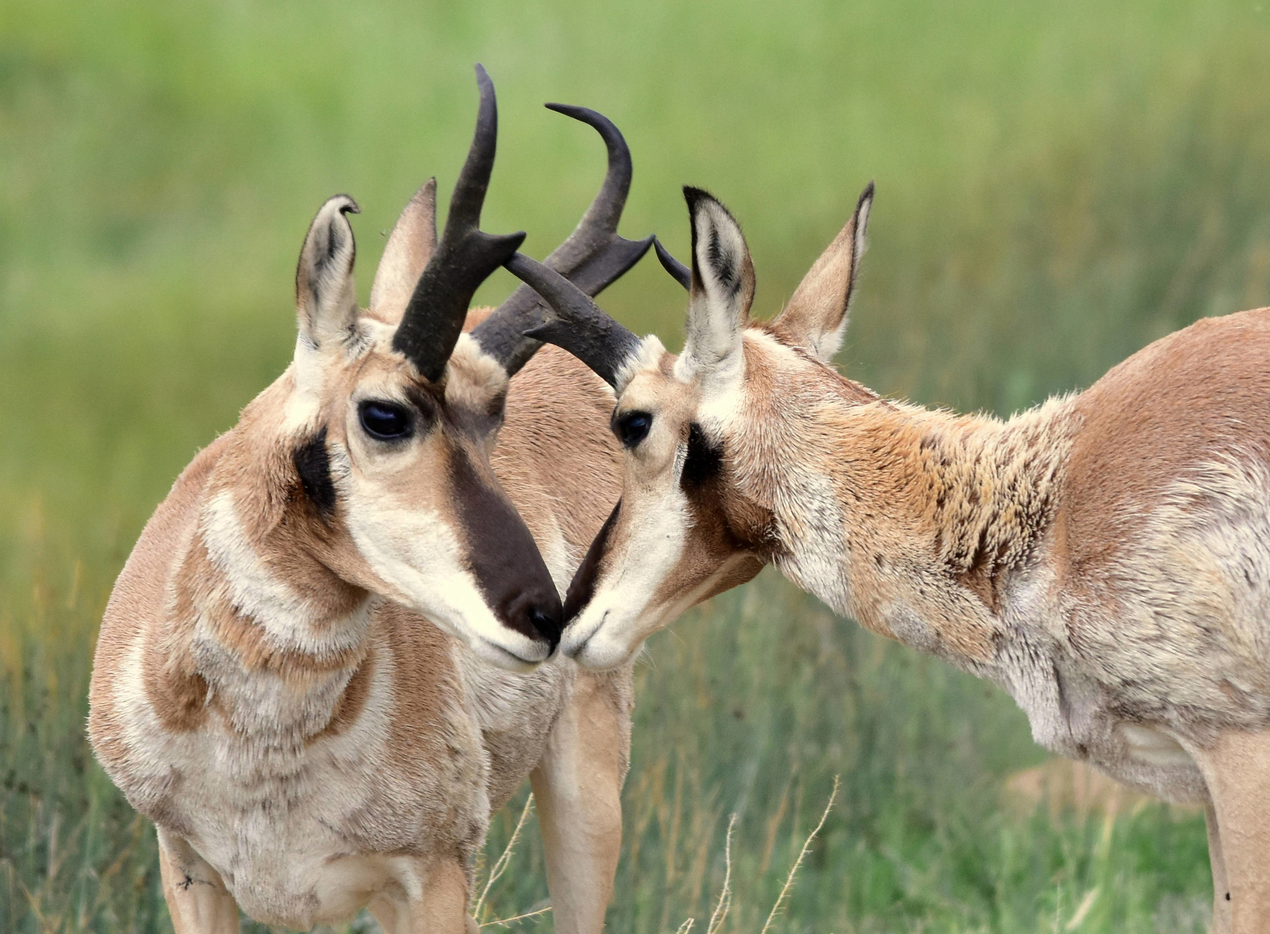 Pronghorn ( Antilocapra americana )on the Arapaho National Wildlife Refuge in Colorado.  Source: US Fish and Wildlife Service