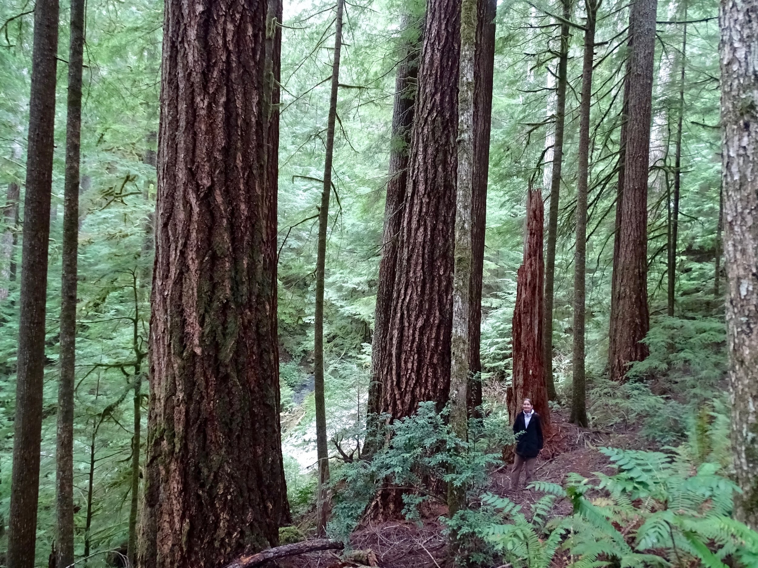 .Though large, the trees are relatively young in that the Elliott State Forest is very productive.Image David Tvedt.