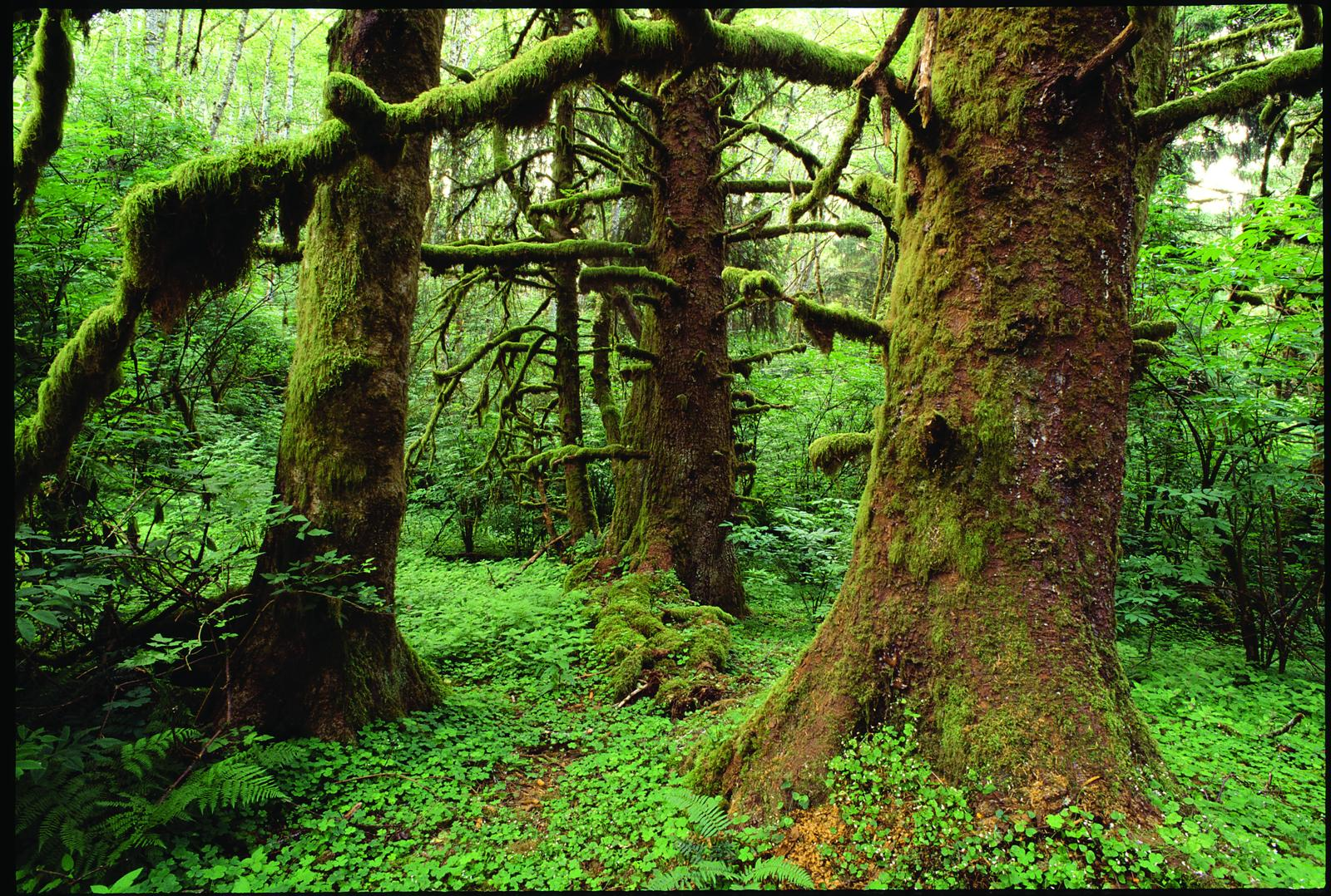 Old-growth Sitka spruce in the Cascade Head Scenic-Research Area on the Siuslaw National Forest in the Oregon Coast Range. It's still United Nations Biosphere Reserve, but please don't anyone tell President Trump.  Image:Gary Braasch.
