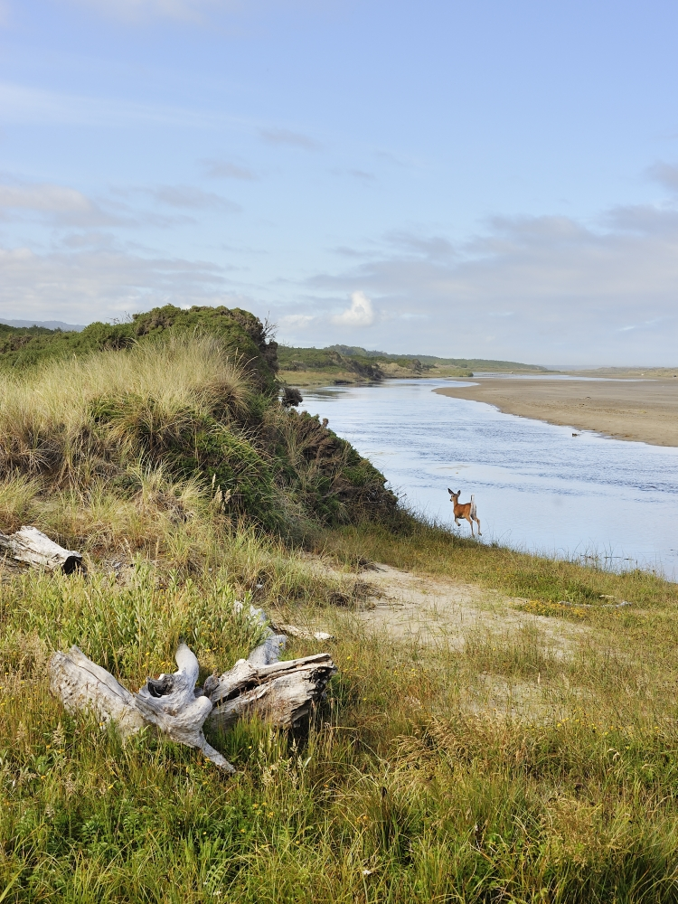 The New River ACEC in Oregon's Coos and Curry counties. The New was formed in 1890 when sand blocked the outlet of Floras Lake (elev. 10'), forcing the water to create a new channel paralleling the foredune for several miles. The mouth eventually breaks through the foredune and empties into the Pacific Ocean. However, the mouth is often on the move further northward or even back southward as the foredune is breached mid-river and the New River flows to the sea for awhile before sand again fills this mouth.  Source: Bureau of Land Management.
