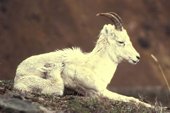 Two generations of Dall sheep on the Arctic National Wildlife Refuge.  Source: US Fish and Wildlife Service