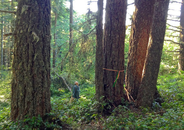Figure 3.  An ~100-year old natural stand (with numerous much older legacy old-growth trees) in the South Myrtle Creek Watershed in the Umpqua Basin in Douglas County, OR.The stand,habitat for the northern spotted owl and other imperiled species,was slated for logging by the Bureau of Land Management. The project, developed at the behest of Secretary of the Interior Ken Salazar, was to showcase the authors' variable retention harvest recommendations in both plantations and natural stands. Fortunately, a federal court found that the White Castle Timber Sale needed a full environmental impact statement before it could proceed. The authors include a fair and balanced 4-page critique of the project and the controversy in  Ecological Forest Management . Source: Francis Eatherington, Cascadia Wildlands
