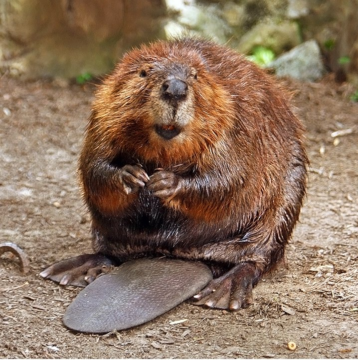 Figure 1. Perhaps not cuddly, Castor canadensis  is nonetheless cute . Source: Wikipedia .