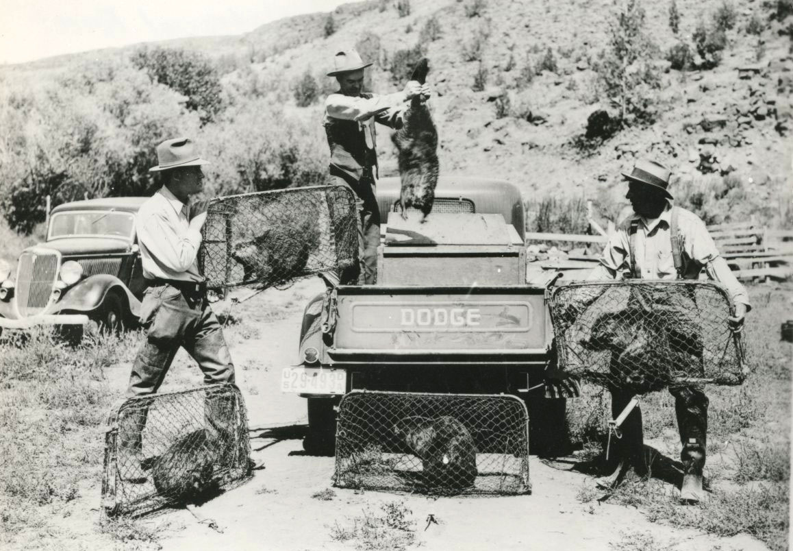 - Figure 4.Reintroduction of the beaver is not a new concept. Beaver were trapped for relocation on the Ochoco National Forest in 1936.Source:Oregon Historical Society.
