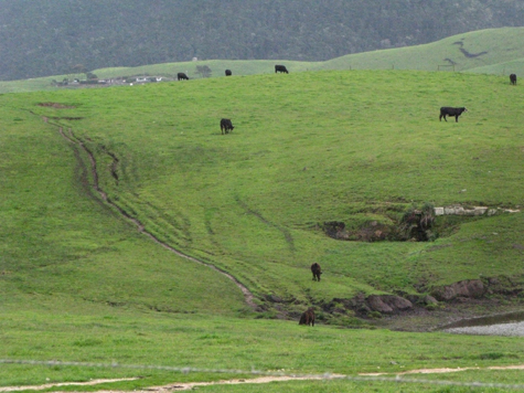 - Fig. 4. Eroded cow-bombed hills with introduced annual grasses and no native bunchgrasses. Source: Restore Point Reyes National Seashore.