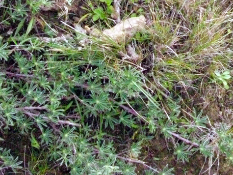 - Fig. 12. Annual lupine and native grasses in an ungrazed portion of Point Reyes National Seashore. Source: Restore Point Reyes National Seashore.