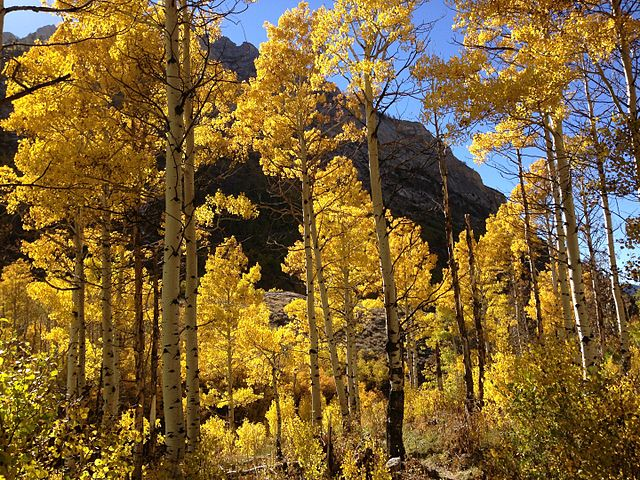 Figure 1.  Quaking aspens in Lamoille Canyon, Nevada.  Source:  Wikipedia .