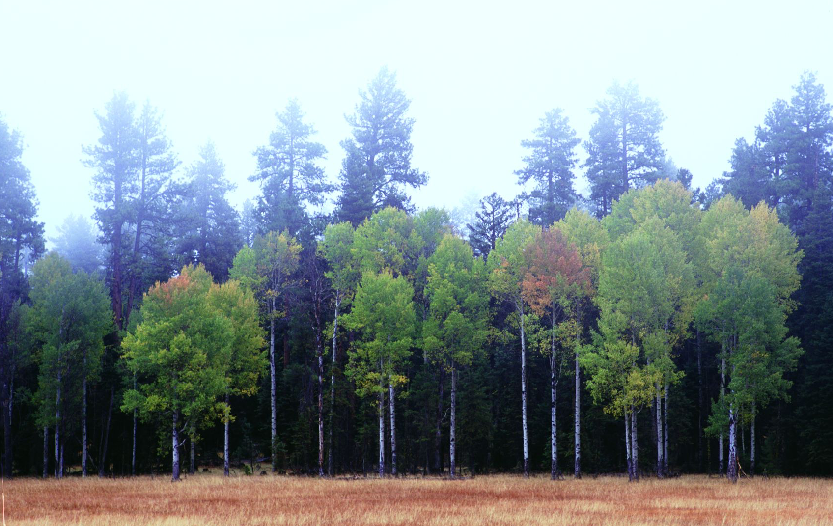 Figure 2.  Quaking aspen ( Populus tremuloides ) (foreground) and ponderosa pine ( Pinus ponderosa ) (background) on the Ochoco National Forest in Oregon. While aesthetically pleasing, the image is disturbing if you note the utter lack of any aspen replacement stems . Source: Sandy Lonsdale. First appeared in   Oregon Wild: Endangered Forest Wilderness     (Timber Press, 2004).