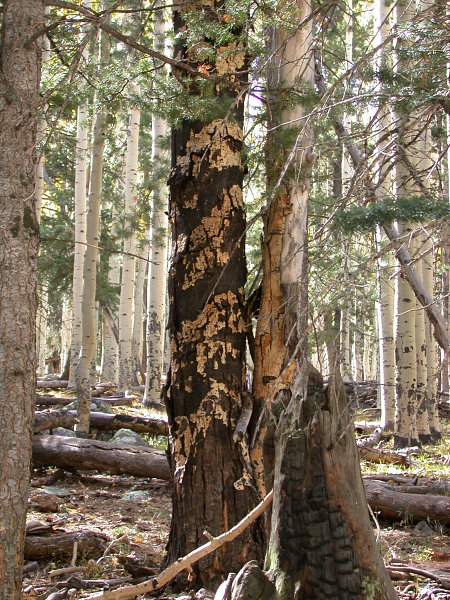 - Figure 4. The sooty bark canker, which hastens the demise of older quaking aspen stems. Source: USDA Forest Service.