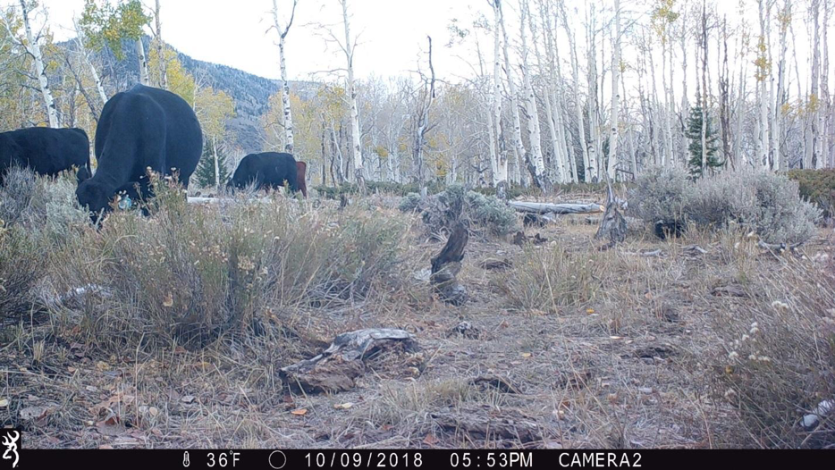 Figure 10.  Camera 2 on October 9, 2018, at 36°F. The bovines are only there a few weeks.  Source:  Western Watersheds Project .