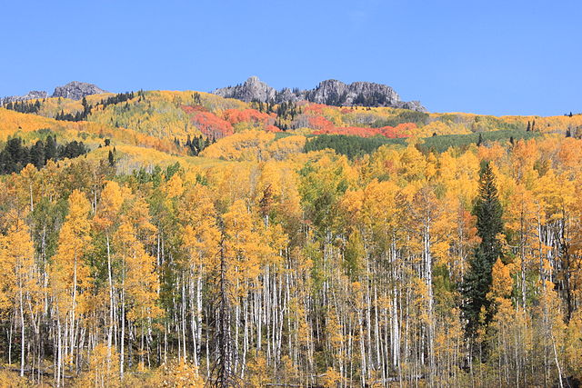 Figure 12.  Quaking aspens at Kebler Pass, Colorado . Source:  USDA Forest Service .