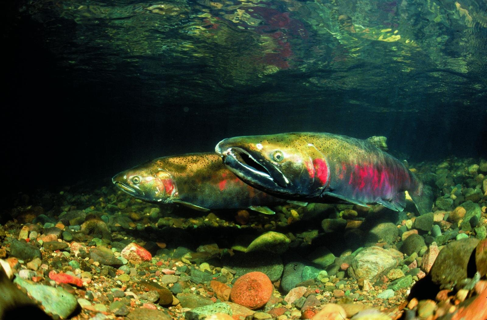 Figure 1.  Adult coho salmon. Anadromous (born in freshwater, live in the ocean, return to where they were born to spawn) fish such as numerous Pacific stocks of salmon and steelhead are an outstandingly remarkable value of many existing and proposed wild and scenic rivers.  Source:  www.RichardGrost.com  (first appeared in   Oregon Wild: Endangered Forest Wilderness  ).