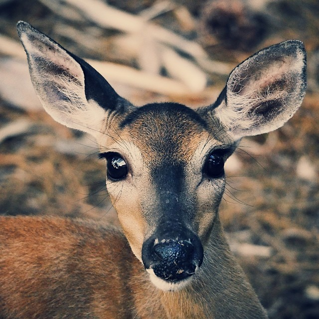 White Tail Deer by William Brawley