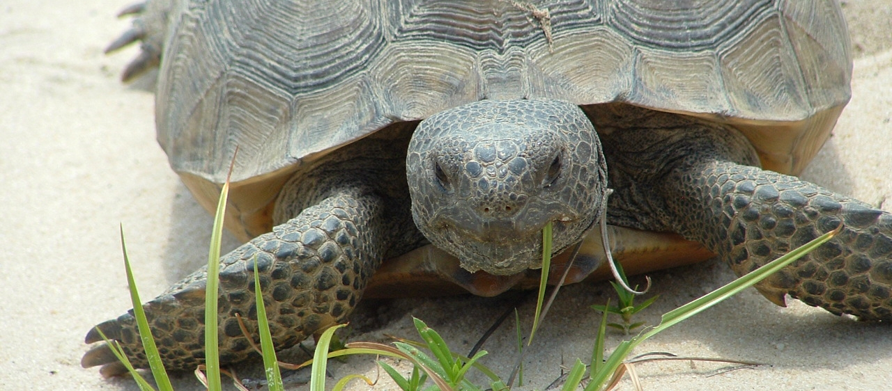 Gopher Tortoise in Irwin County. Photo By Georgia Conservancy.
