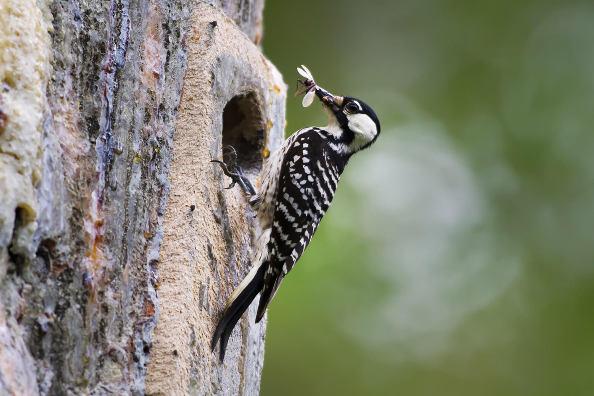 Red-cockaded Woodpecker. Photo by U.S. Fish & Wildlife Service