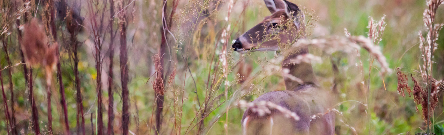 White-tailed Deer. Photo by Phuc Dao.