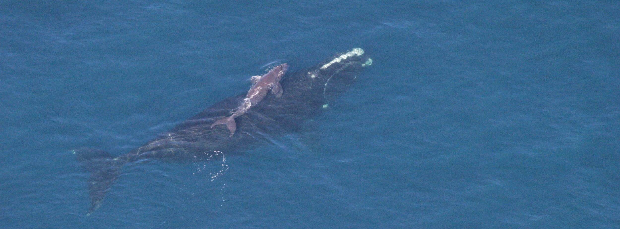 Photo of North Atlantic Right Whale and Calf - GA Dept. of Natural REsources