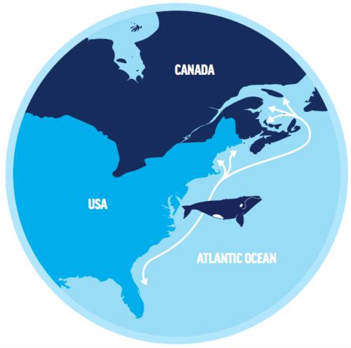 Range of North Atlantic Right Whale, COurtesy of Oceana
