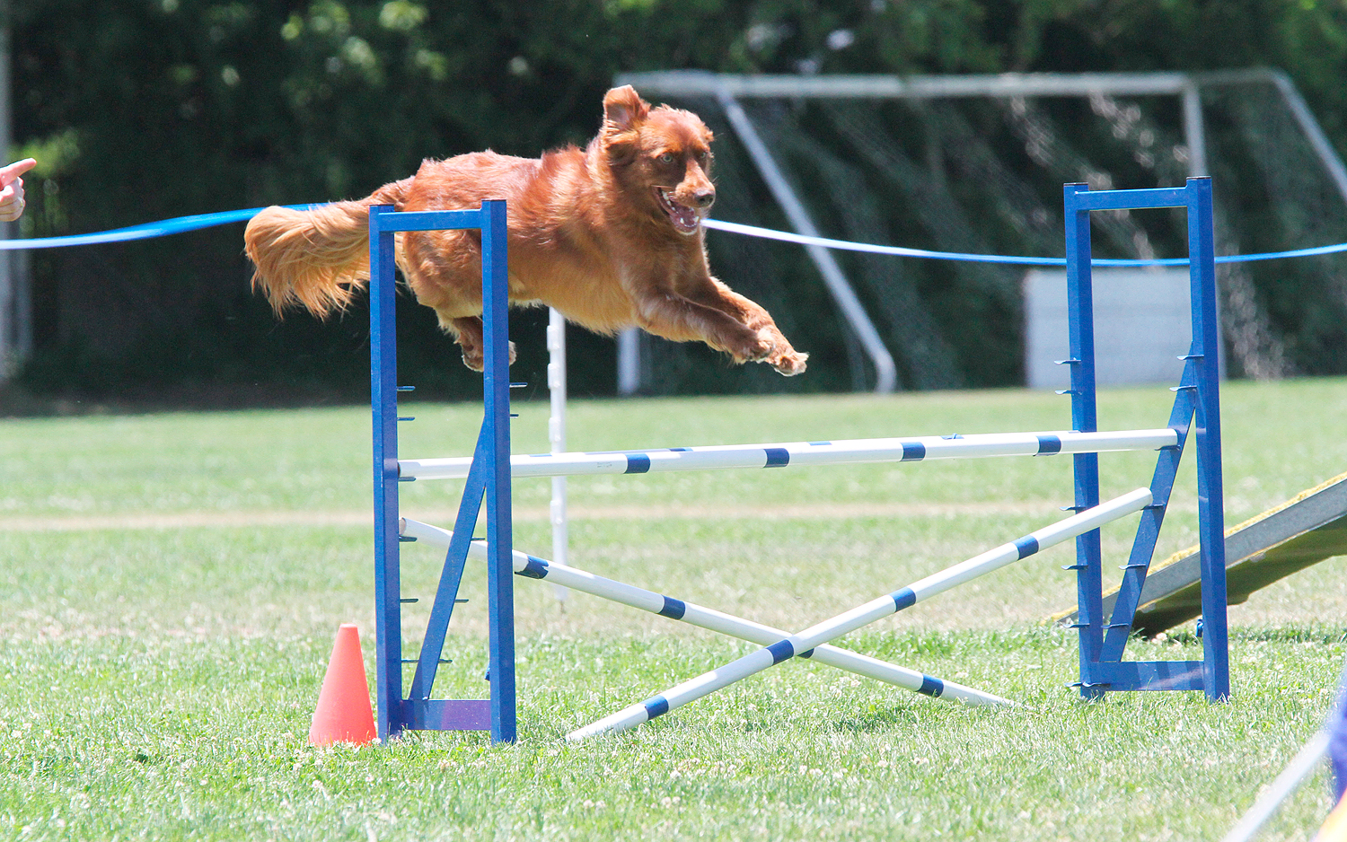 Tuli, Javahill's Red Flame MX MXJ OF CGCA at the Monterey Bay Agility Club AKC agility trial during his Novice agility title run. Photo by Dog Gone Digital.