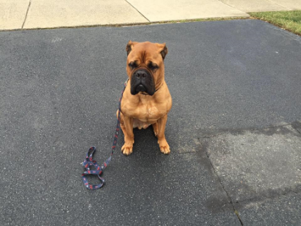 Tank is my bull mastiff. He is a great dog but was having a little problem with other dogs. He would always wine that he wanted to play but wasn't very good with them. Barking and such. Nick has worked with Tank and me and Tank is so much better and Im more relaxed. Tank just Loves Nick  - Donna