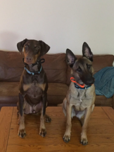 I was looking for a good dog trainer that would work with positive reinforcement, and unityK9 popped up on my fb wall. I wrote Nick and he was all in to help us train our Malinois and Doberman. Nick came home to us, to meet the craziness of dogs. We decided to do the 6 days intensive training with both dogs and it have paid off the best gift was yesterday when we took our Malinois out with us and we could let our 9 year old son walk her and train her not one time did she pull on the leash. She was very obedient. Our Doberman is doing such a good job too. Nick and his co trainer are two very competent trainers that I will give my best recommendations. I told Nick to make his program perfect he need to teach his clients to become good dog handlers too so both dog and human can have a good relationship:))  - Siv