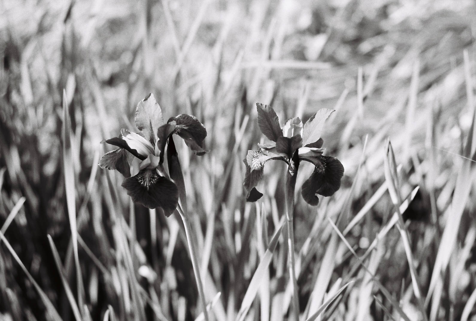 Flowers - Summicron 50mm f2 + Kodak Tmax 100