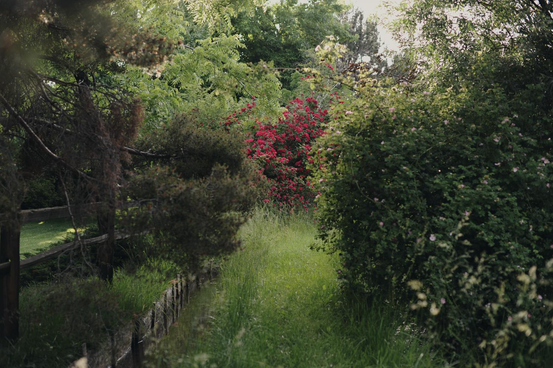 Rosebush, 2011