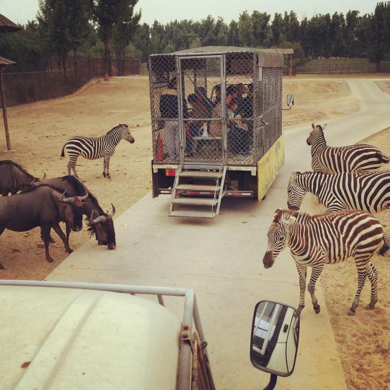 Zoo visitors locked in a cage drive through the African wildlife enclosure. Beijing.