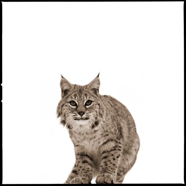 Bobcat-II