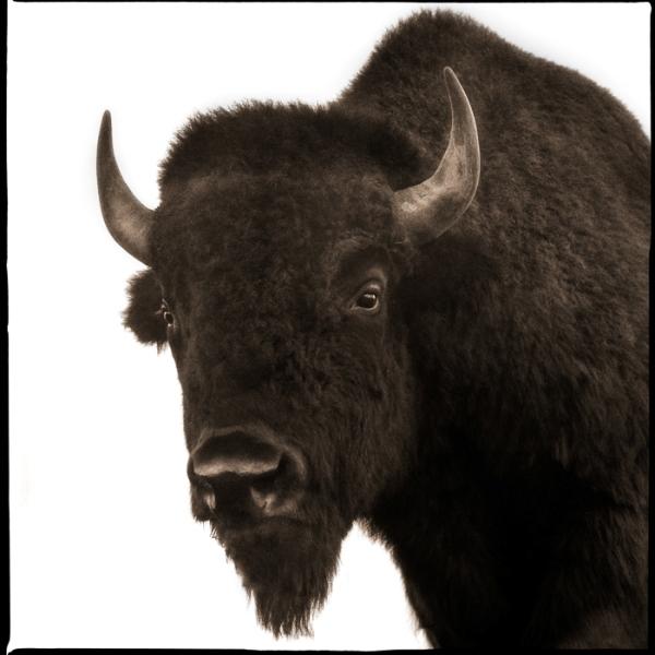 Bison-II