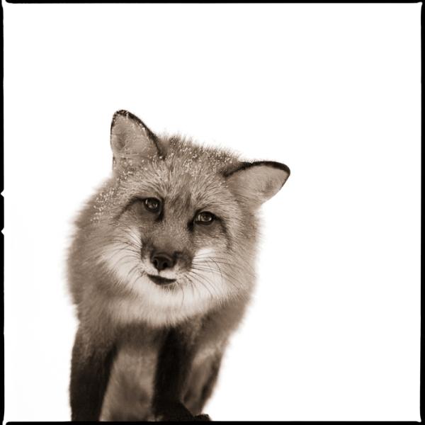Fox-I