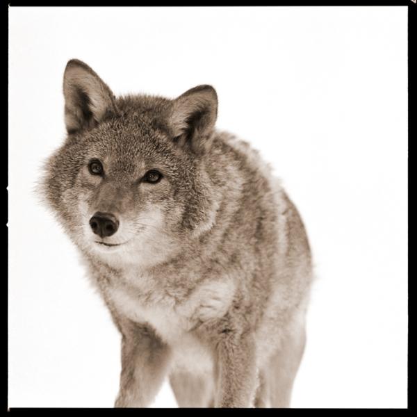 Coyote-I