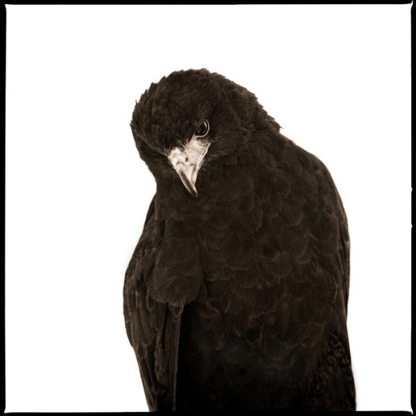 Hawk-I