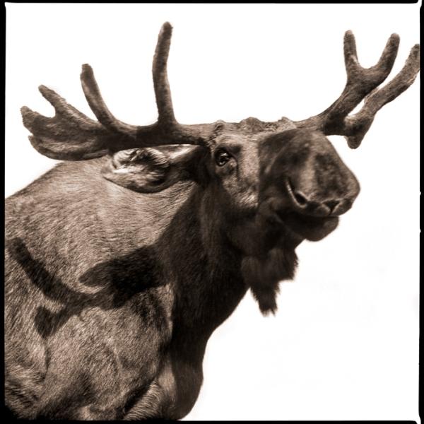 Moose-I