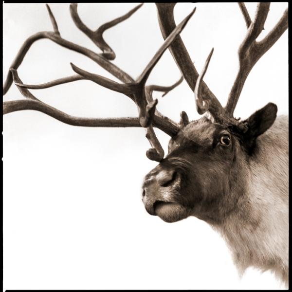 Reindeer-I