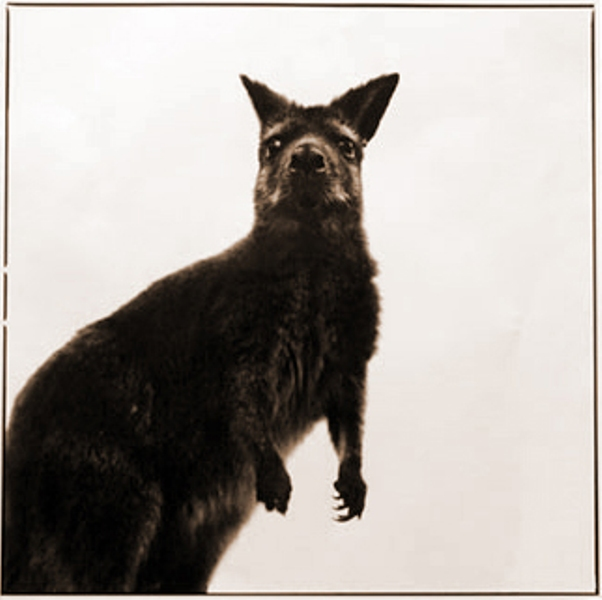 Wallaby-I