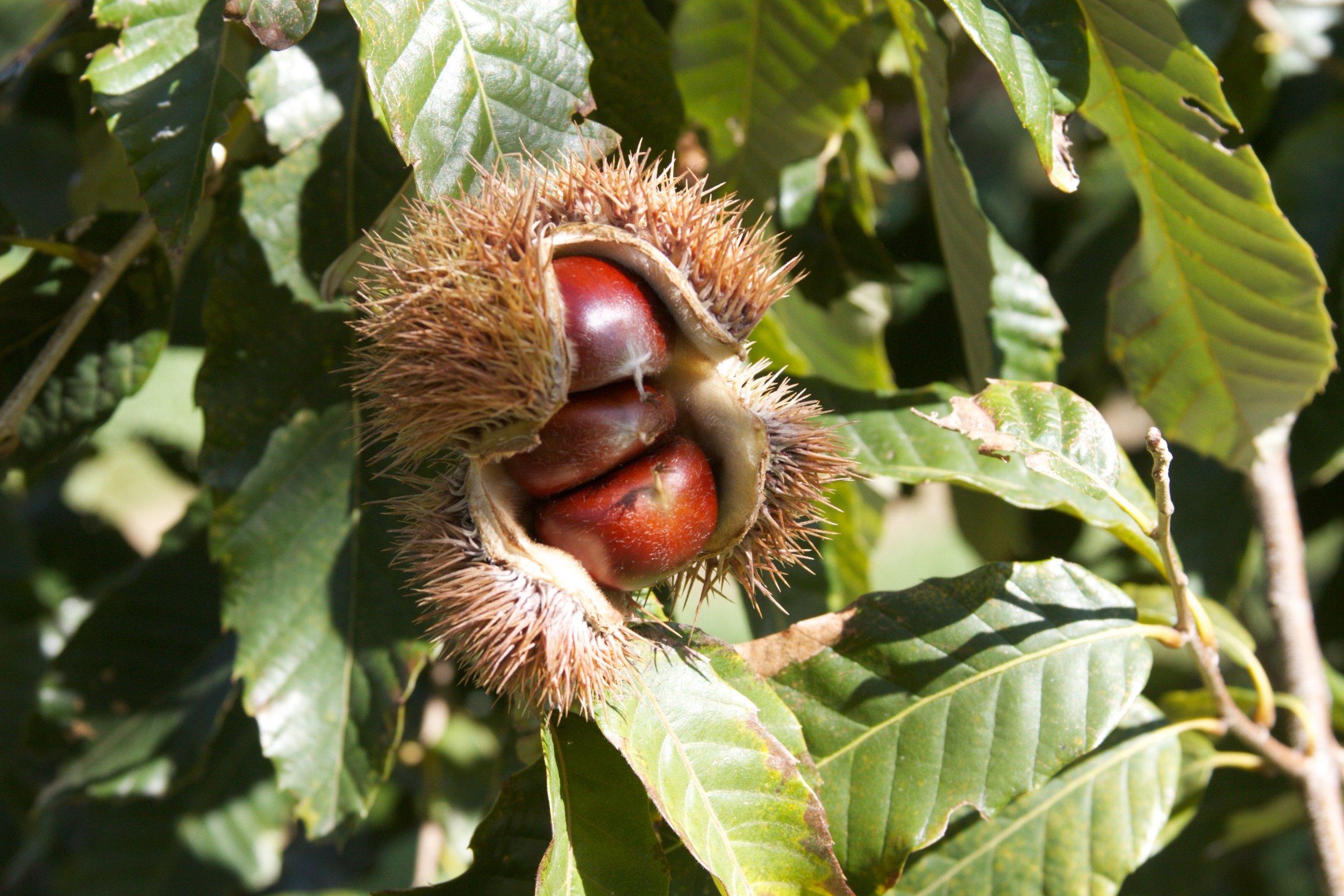 A chestnut burr at Red Fern Farm