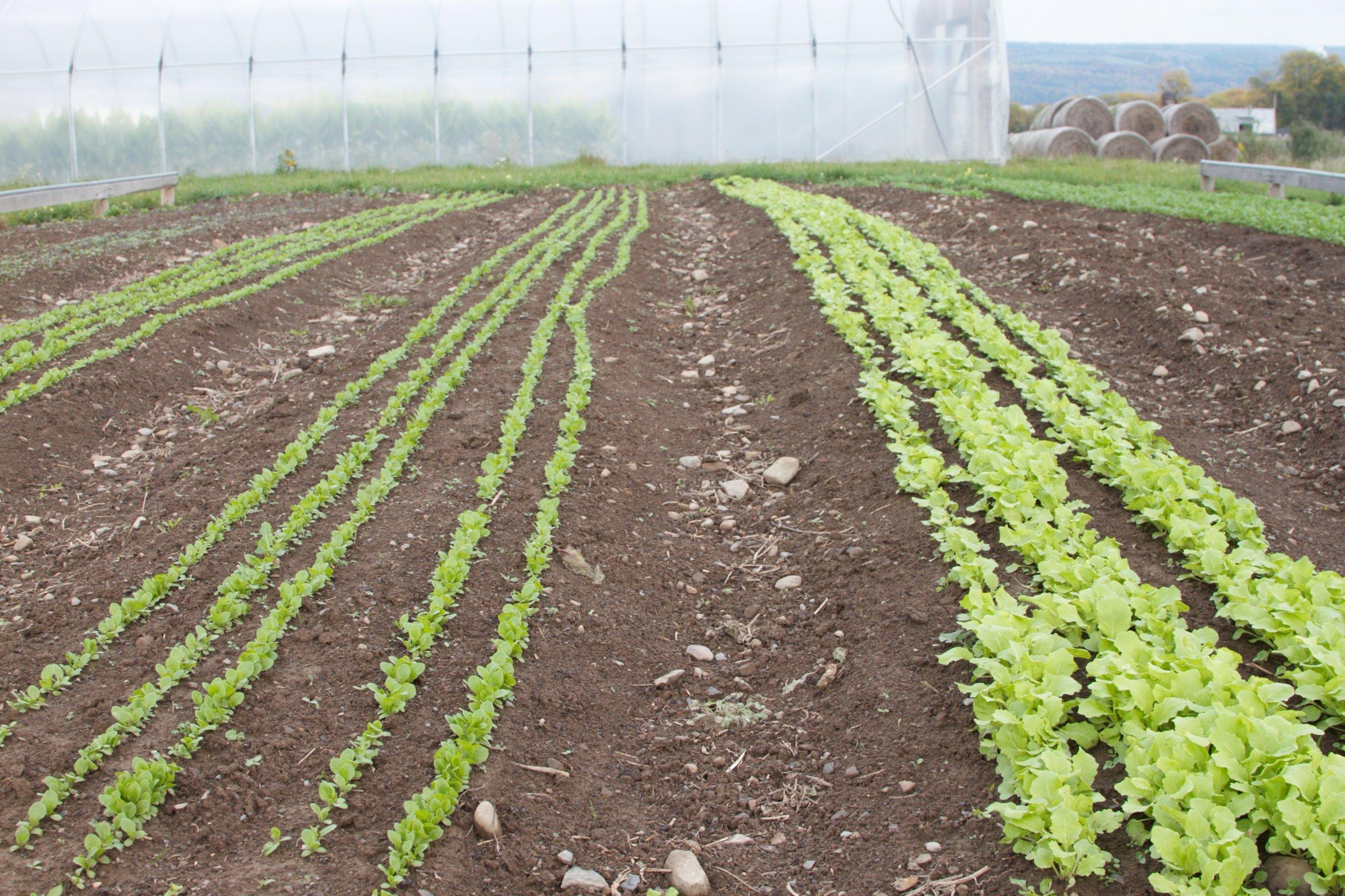 Salad greens, weed-free in chocolate-cake soil