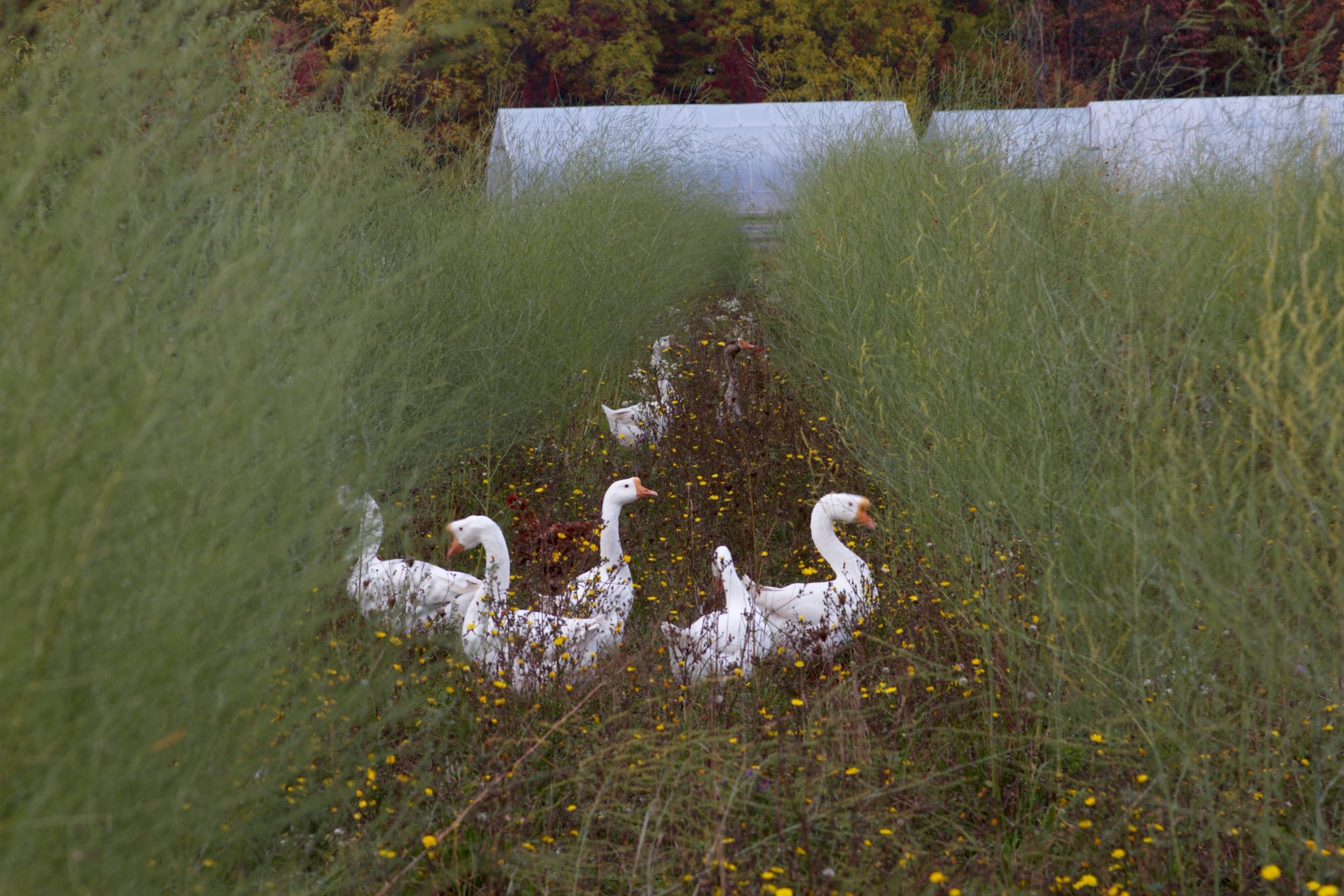 Geese graze the rows of asparagus in the off-season, keeping the weeds down and turning grass into fertilizer.