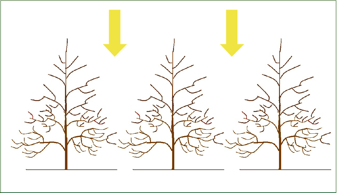 These trees are properly pruned. Their triangular shape maximizes the amount of branch tips that have access to light: nuts form on the ends of a tree's branches.  Source