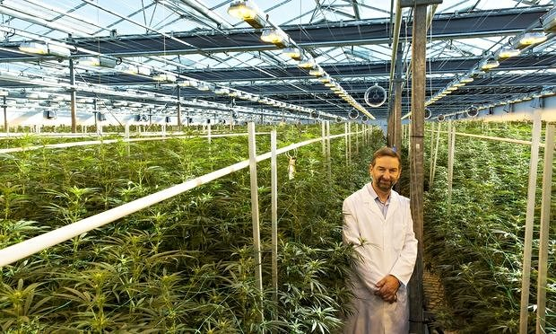 Dr David Potter in the GW Pharmaceuticals Greenhouses