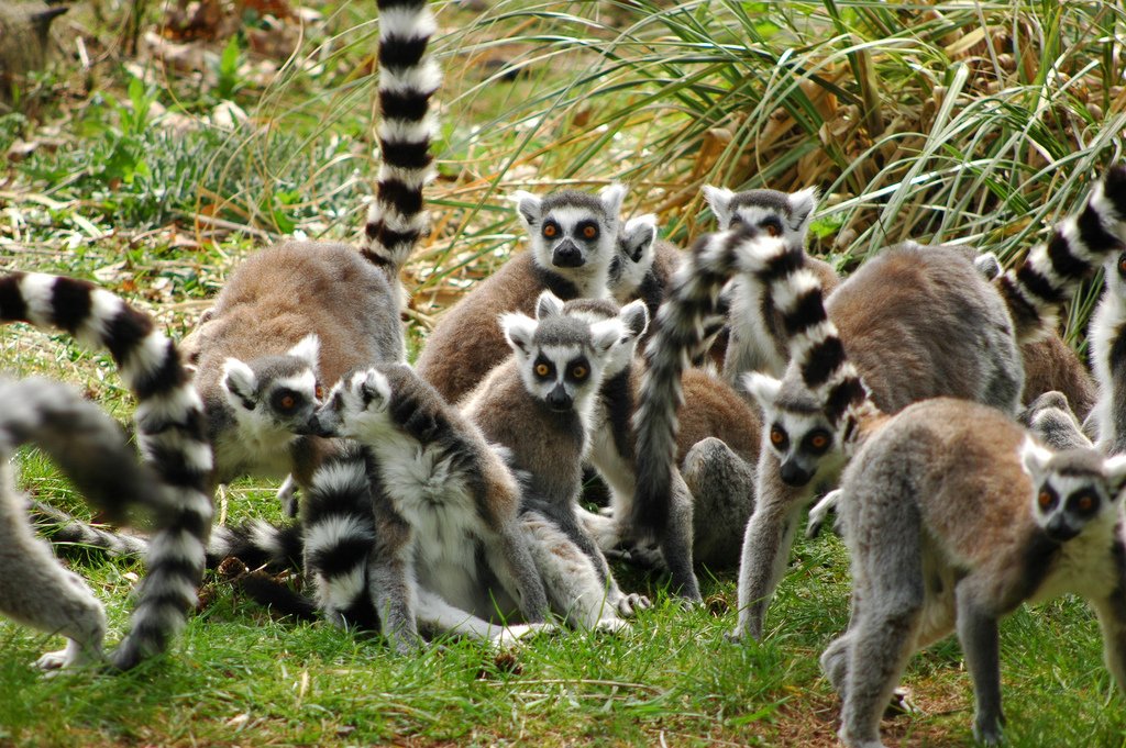 Did Lemurs' brains evolve to cope with their group size? Image by  Erik Coolen .